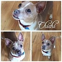 Chihuahua Dog for adoption in Hope, British Columbia - ChiChi