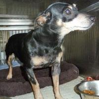 Miniature Pinscher Mix Dog for adoption in Wichita, Kansas - Spunky