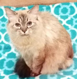 Domestic Longhair/Domestic Shorthair Mix Cat for adoption in Nogales, Arizona - Bella
