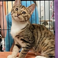 Domestic Shorthair Kitten for adoption in Knoxville, Tennessee - Stripes