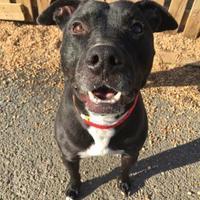 Adopt A Pet :: Codie - Fairfax Station, VA