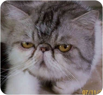 Persian Cat for adoption in Davis, California - Zilly