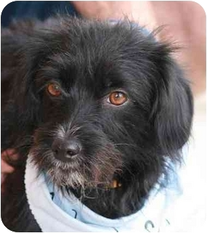Terrier (Unknown Type, Small) Mix Dog for adoption in Palmdale, California - Bonnie