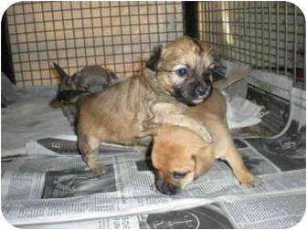 Pomeranian/Chihuahua Mix Dog for adoption in Anton, Texas - Kirby