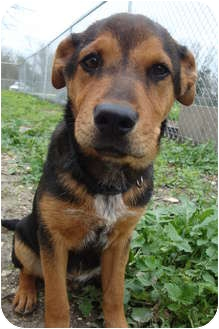 Rottweiler/Shepherd (Unknown Type) Mix Puppy for adoption in Kirby, Texas - Scooby