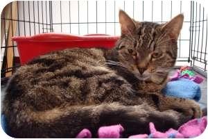 Domestic Shorthair Cat for adoption in Hamburg, New York - Breezy