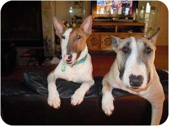 Bull Terrier Puppy for adoption in Houston, Texas - Scrappy