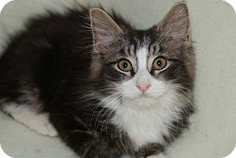 Maine Coon Kitten for adoption in Berlin, Connecticut - Jonah