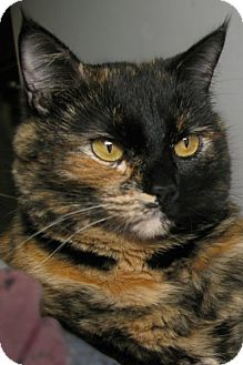 Domestic Shorthair Cat for adoption in Cardwell, Montana - Piccachu