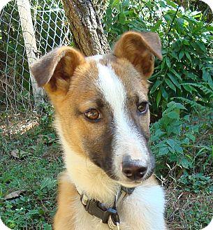 Labrador Retriever Mix Puppy for adoption in Redmond, Washington - Dwight