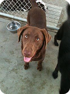 Labrador Retriever Dog for adoption in San Ramon, California - Mikey