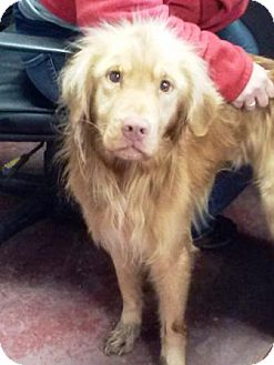 Golden Retriever Mix Dog for adoption in Florence, Indiana - Nigel