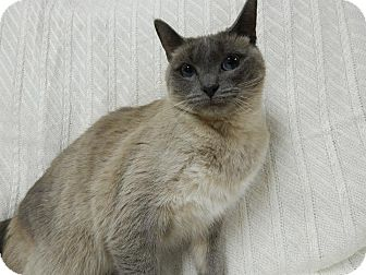 Siamese Cat for adoption in East Hanover, New Jersey - Lily