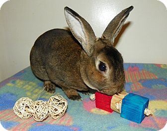 Mini Rex for adoption in North Gower, Ontario - Tonto