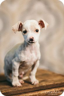 Chihuahua/Jack Russell Terrier Mix Puppy for adoption in Portland, Oregon - Bob