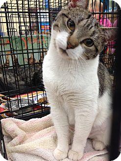 Domestic Shorthair Kitten for adoption in Warwick, Rhode Island - Snickers