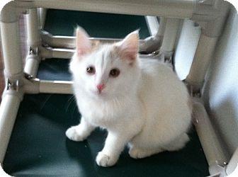 Domestic Longhair Kitten for adoption in Greensburg, Pennsylvania - Sugar