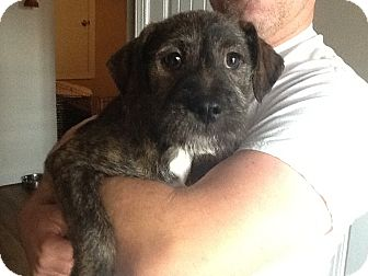 Wirehaired Fox Terrier Mix Puppy for adoption in East Windsor, Connecticut - Alf-pending