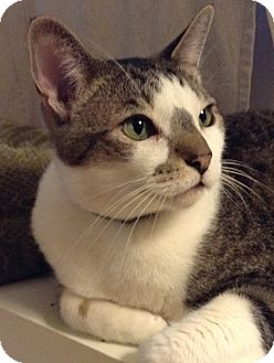 Domestic Shorthair Cat for adoption in Novato, California - Pudge