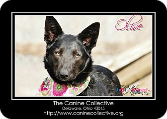 German Shepherd Dog/Labrador Retriever Mix Dog for adoption in Delaware, Ohio - Olive