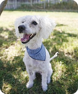 Miniature Poodle/Maltese Mix Dog for adoption in Sacramento, California - Buster