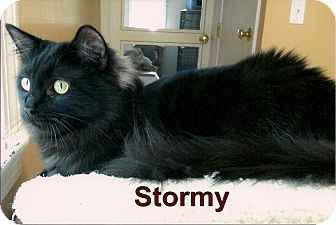 Domestic Mediumhair Kitten for adoption in Medway, Massachusetts - Stormy