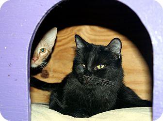 Domestic Longhair Cat for adoption in Lawrenceville, Georgia - Weber (Marietta)