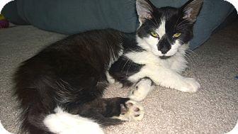 Domestic Longhair Kitten for adoption in Sanford, North Carolina - Hope