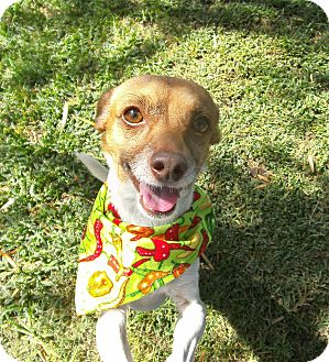 Chihuahua Mix Dog for adoption in El Cajon, California - Conner