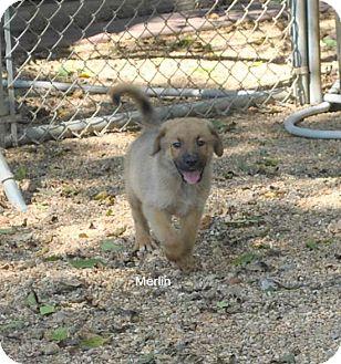 Golden Retriever/Shepherd (Unknown Type) Mix Puppy for adoption in East Hartford, Connecticut - Merlin In ct