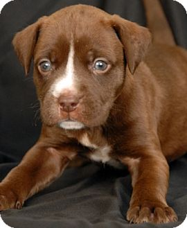 Pit Bull Terrier Mix Puppy for adoption in Newland, North Carolina - Comet