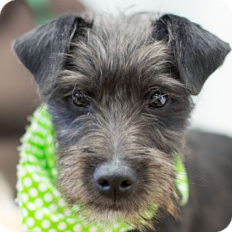 Terrier (Unknown Type, Small) Mix Puppy for adoption in Glastonbury, Connecticut - Freddie