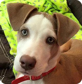 Dalmatian/Cocker Spaniel Mix Dog for adoption in Pennigton, New Jersey - Mazie