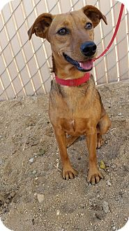 Dachshund/Jack Russell Terrier Mix Puppy for adoption in Edwards AFB, California - Zelda