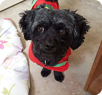 Lhasa Apso/Poodle (Miniature) Mix Dog for adoption in Mission Viejo, California - JOEY