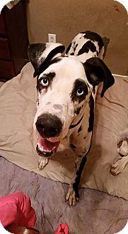 Great Dane Dog for adoption in Austin, Texas - Chloe