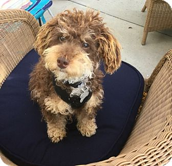 Poodle (Miniature) Mix Dog for adoption in Thousand Oaks, California - Zoey