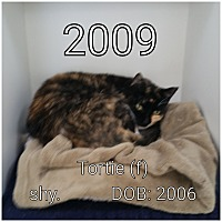Adopt A Pet :: Tortie - Smithtown, NY