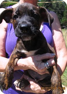 Wirehaired Pointing Griffon/Labrador Retriever Mix Puppy for adoption in Williston Park, New York - FRISKY