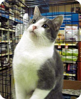 Domestic Shorthair Cat for adoption in Overland Park, Kansas - Freckles