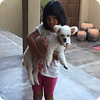 Adopt A Pet :: Lana -  I don't shed! - Vancouver, BC