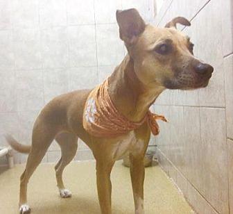 Labrador Retriever Mix Dog for adoption in Miami, Florida - Cookie 2