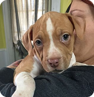 Beagle/Boxer Mix Puppy for adoption in Vernon, Connecticut - Bam Bam
