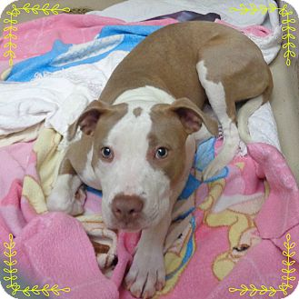 Pit Bull Terrier/American Pit Bull Terrier Mix Dog for adoption in Marietta, Georgia - PAULA