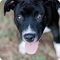 Adopt A Pet :: Jack $250 - Seneca, SC