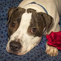 Adopt A Pet :: Hoss - Nashville, TN