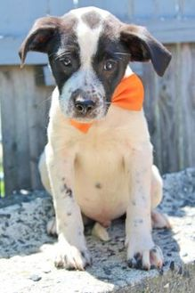 Labrador Retriever/Shepherd (Unknown Type) Mix Puppy for adoption in Woodlyn, Pennsylvania - Phil