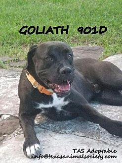 Mastiff/Pit Bull Terrier Mix Dog for adoption in Spring, Texas - Goliath