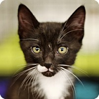 Adopt A Pet :: Sylvester - Great Falls, MT