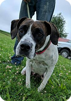 Boxer/Beagle Mix Dog for adoption in Lisbon, Ohio - Anna Bell